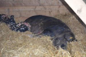 DSC_0326-300x200 Naturligt griseri udfordrer den høje dødelighed blandt pattegrise